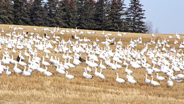 Apparently, if you're a snow goose, Flagstaff is a great place to drop in for a little break when you're travelling. We think that's true for everyone, not just our winged friends!