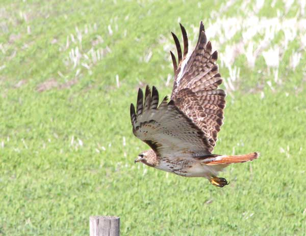 red-tailed-hawk-EXTRA-Aug-2014